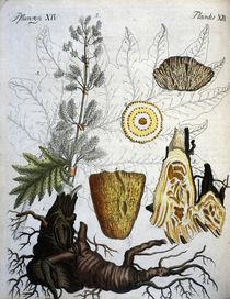 Echter Rhabarber / aus Bertuch 1792 von AKG  Images