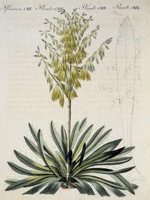 Faedentragende Yucca / aus Bertuch 1810 von AKG  Images