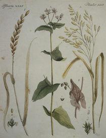 Getreidearten / aus Bertuch 1796 by AKG  Images
