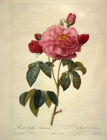 Rosa gallica aurelianensis / Redoute by AKG  Images