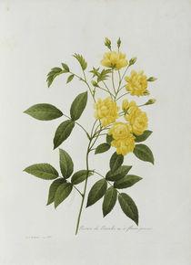 Rosier de Bancks / Redoute 1835 Nr.129 von AKG  Images