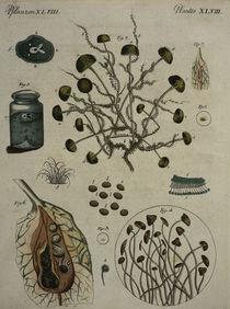 Schimmelpilze / aus Bertuch 1796 von AKG  Images