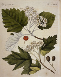 Weissdorn / aus Bertuch 1813 von AKG  Images