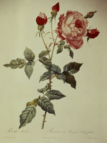 Rosa indica/Stich nach Redoute by AKG  Images