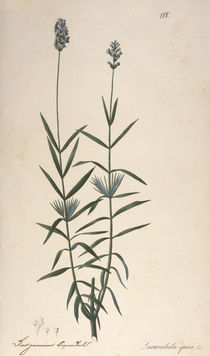 Lavendel / Federlithographie 1820 by AKG  Images