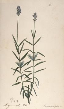 Lavendel / Federlithographie 1820 von AKG  Images