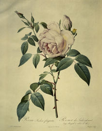 Rosa indica fragrans/Stich Redoute von AKG  Images