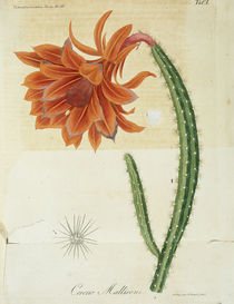 Kaktus 'Cereus Mallisoni' / Litho.1836 by AKG  Images