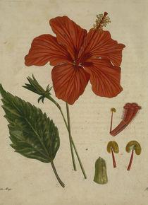 Chinesischer Eibisch / Asiat.Magaz.1806 by AKG  Images