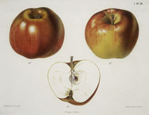 Apfel / Farblithographie by AKG  Images