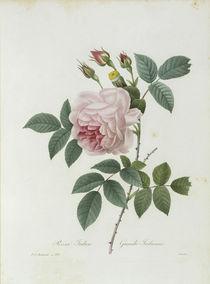 Teerose / / Redoute 1835 Nr.132 by AKG  Images