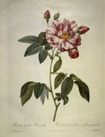 Rosa gallica versicolor/Stich Redoute by AKG  Images