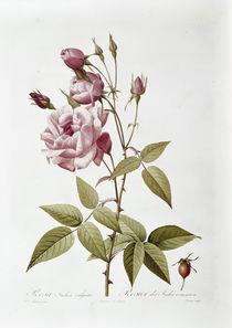 Rosa indica / Redoute von AKG  Images