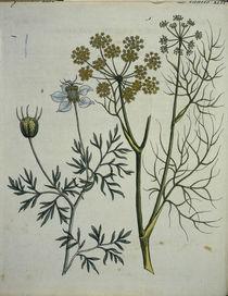 Fenchel und Kuemmel / Bertuch 1796 von AKG  Images