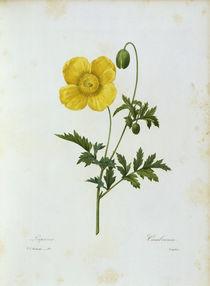 Gelber Scheinmohn / Redoute