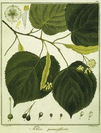 Linde (Tilia pauciflora)/Radierung Haas von AKG  Images