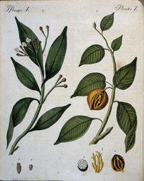 Muskatnussbaum und Gewuerznelkenbaum von AKG  Images