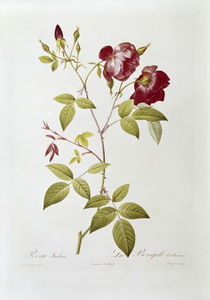 Rosa indica / Redoute by AKG  Images