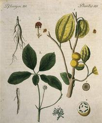 Brechnuss und Ginseng / aus Bertuch 1792 by AKG  Images