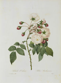 Rose Adelia Aurelianensis / Redoute 1835 by AKG  Images