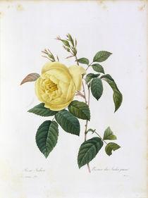 Rosa Indica / Redoute 1835, T.122 von AKG  Images