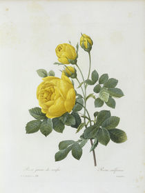 Schwefelgelbe Rose / / Redoute 1835 by AKG  Images
