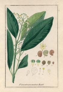 Pimentbaum / Kupferstich 19.Jh. von AKG  Images