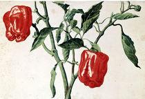 Franz Horny, Paprikafruechte  / 1817 von AKG  Images