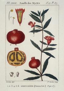 Granatapfelbaum/Granataepfel/Radierung von AKG  Images