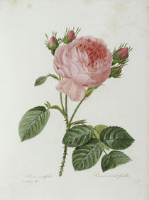 Rosa centifolia / Redoute 1835 Nr.119 by AKG  Images