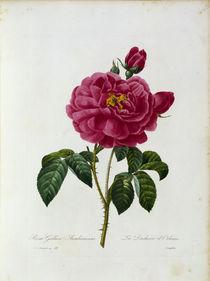 Rosa Gallica / Redoute 1835, T.121 von AKG  Images
