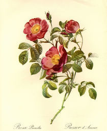 Rosa pumila/Stich nach Redoute by AKG  Images