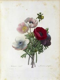 Anemone simplex / Redoute von AKG  Images