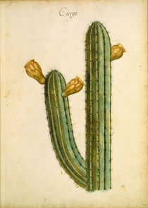 Kaktus / Ch.Plumier by AKG  Images