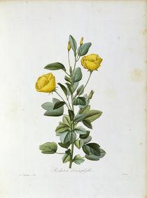 Redutea heterophylla / Redoute von AKG  Images
