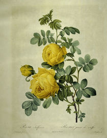 Rosa sulfurea/Stich nach Redoute by AKG  Images