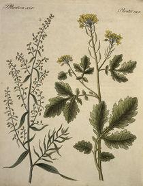 Senf und Estragon / aus Bertuch 1796 by AKG  Images