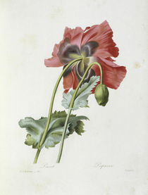 Mohn / Redoute von AKG  Images