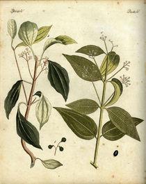 Zimt und Kampfer / aus Bertuch 1792 von AKG  Images
