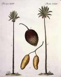 Palmen / aus Bertuch 1796 von AKG  Images
