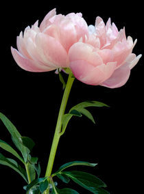 Pink Peony  by Janice Sullivan