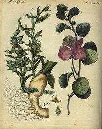 Kardamom und Kapern / aus Bertuch 1792 von AKG  Images