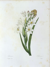 Tuberose / Redoute by AKG  Images