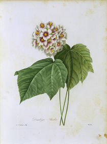 Dombeya Ameliae / Redoute von AKG  Images