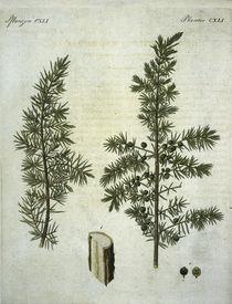 Wacholder / aus Bertuch 1813 by AKG  Images