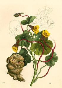Kapuzinerkresse / aus Buch der Welt von AKG  Images