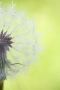 Dandelion Half von Janice Sullivan