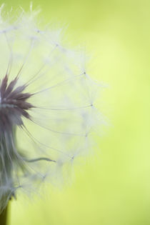 Dandelion Half by Janice Sullivan