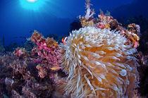 Clownfish hidden in the reef by Steve De Neef