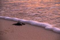 Tiny turtle by Steve De Neef
